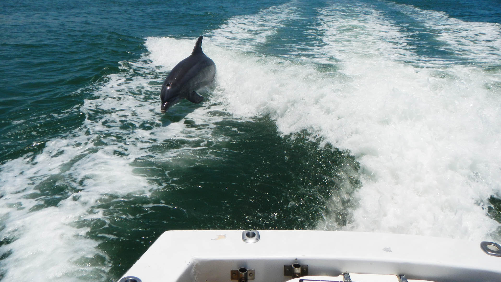 Dolphins chasing The Jawbreaker fishing charter.